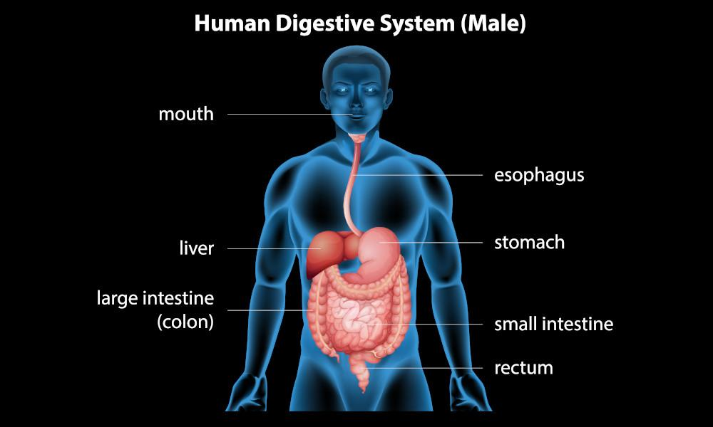 The digestion process can be aided through the consumption of: